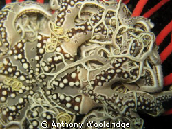 A close up of a basket star, taken at Chelsea North in Po... by Anthony Wooldridge