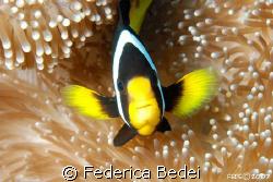 clown fish, NIKON D80 with SUBAL HOUSING, 60mm lens by Federica Bedei