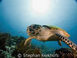 hawksbill turtle (eretmochelys imbricata) taken in Tiran. by Stephan Kerkhofs