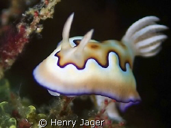 """Chromodoris coi "" Raja Ampat, West Papua by Henry Jager"