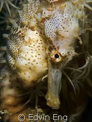 Shy Guy! Taken in Perhentian Island with Canon G9 & Inon ... by Edvin Eng
