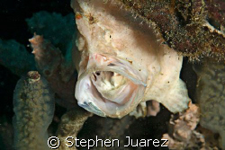 Huge mouth on this frog fish by Stephen Juarez