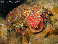 A colourful Spanish lobster (Arctites antipodum) doing it... by Brian Mayes