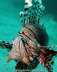 Turkey fish. Depth 32m, visibility 5-7m. Camera Canon 40D... by Alexander Nikolaev