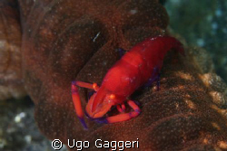 """Another """"passenger"""" for a sea cocumber. Lembeh Streit. by Ugo Gaggeri"""