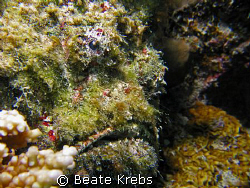 """Stonefish  """"Don Petro""""   Housereef at  ElQuseir , Canon S70 by Beate Krebs"""