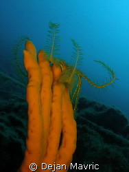 Feather star (antedon mediterranea) on a sponge. Using a ... by Dejan Mavric