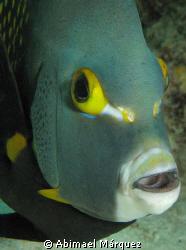 Angelfish, Bonaire. by Abimael Márquez