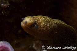 A shy goldentail moray peeking out from its home! Taken w... by Barbara Schilling