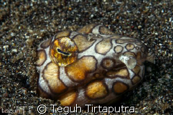 Snake eel, Canon EOS 400D with Sea and sea housing and st... by Teguh Tirtaputra
