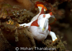 Steady now! Clown Frogfish, taken @ Lembeh, Indonesia.  by Mohan Thanabalan