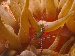 Spotted cleaner shrimp, Curacao, N.A.  Sea&Sea MM IIEX wi... by Maryke Kolenousky