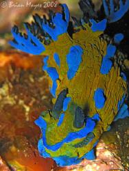 Verco's Tambja (Tambja verconis) with it's electric blue ... by Brian Mayes
