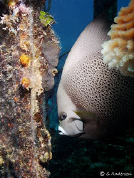 This Grey Angelfish was hunting and pecking on algae whic... by Steven Anderson