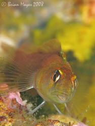 Pure gold, a Yaldwyn's Triplefin (Notoclinops yaldwyni). ... by Brian Mayes