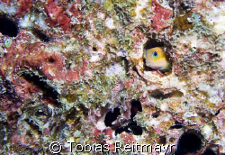 """Blenny seeking shelter from """"bubble monster"""", West of Ede... by Tobias Reitmayr"""