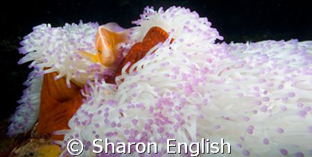 Pink Anemone Fish  by Sharon English