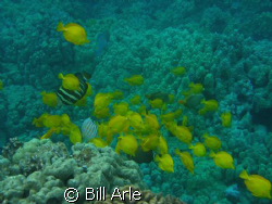 Reef fish, Big Island, Hawaii by Bill Arle