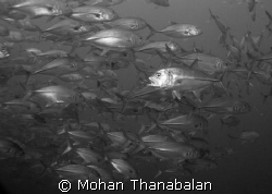 Help! I'm Lost! School of Jacks, pic taken at Temple of S... by Mohan Thanabalan