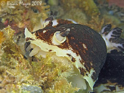 Variable Nudibranch (Apheldoris luctuosa) or is it a vamp... by Brian Mayes