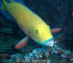 Parrot fish by Gary Beecheno
