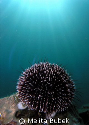 Sea urchin and sunburst taken at Fiesa, Slovenia, June08  by Melita Bubek