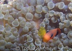 Tomato anemonefish in bulb anemone, Bida Nok, Phi Phi Isl... by Tobias Reitmayr