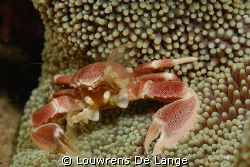 Marbled anemone crab busy siphoning and eating by Louwrens De Lange