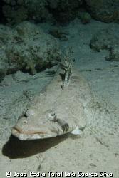 Indian Ocean Crocodile Fish (Papilloculiceps longiceps) s... by Joao Pedro Tojal Loia Soares Silva
