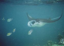 Giant Manta off Vadhoo Island in the Maldives - Photograp... by Gary Arnold