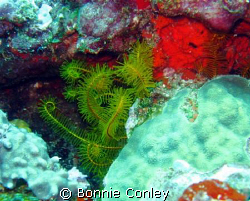 Golden crinoid seen at Cancun May 2008.  I've been diving... by Bonnie Conley