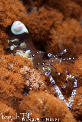 Periclimenes venustus, captured by Canon EOS 400D, macro ... by Teguh Tirtaputra