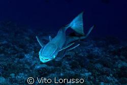 Fish - Echeneis naucrates by Vito Lorusso
