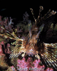 Common lionfish discovered at the end of the dive in shal... by Tobias Reitmayr