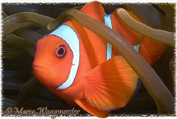 Spinecheek anemonefish male (Canon G9, Inon D2000) by Marco Waagmeester