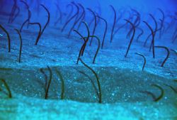 Garden eels, Canary Is.F90x housed,105 nikon lens,1 strobe by José Augusto Silva