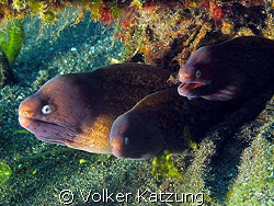 morays by Volker Katzung