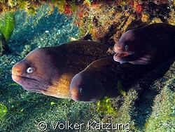 morays by Volker Katzung