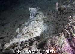 Crocodile fish on a night dive by Sharon English