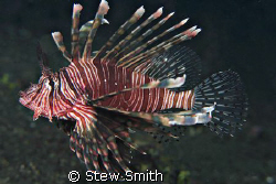lionfish - lembeh strait. 60mm canon full frame by Stew Smith