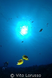 Fish - Chaetodon lineolatus by Vito Lorusso