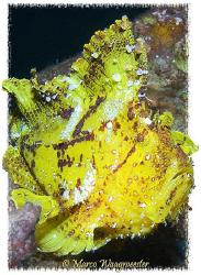 Yellow Leaf Scorpionfish portrait (Canon G9, Inon D2000w) by Marco Waagmeester