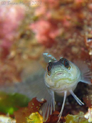 Portrait of a  Spectacled Triplefin (Ruanoho whero) perch... by Brian Mayes