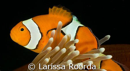 Amphiprion percula.   CLOWN ANEMONEFISH.  The real Nemo! by Larissa Roorda