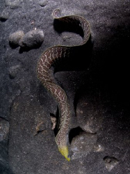 Undulated Moray in Hawaii by Andy Lerner