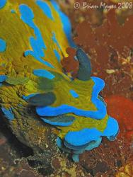 Blue green monster from the deep, aka. Verco's Tambja (Ta... by Brian Mayes