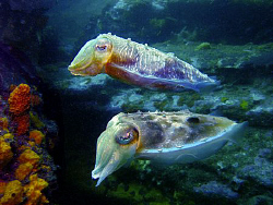 Cuttlefish pair, Bare Island by Doug Anderson
