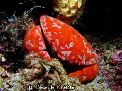 "Crab taken during a night dive at ""Edens Garden"" , Canon ... by Beate Krebs"