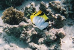 Butterfly Fish photographed on the house reef at Velassur... by Gary Arnold