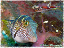 """Two Eyes"" - Saddled Toby & Striped Triplefin (Canon G9, ... by Marco Waagmeester"